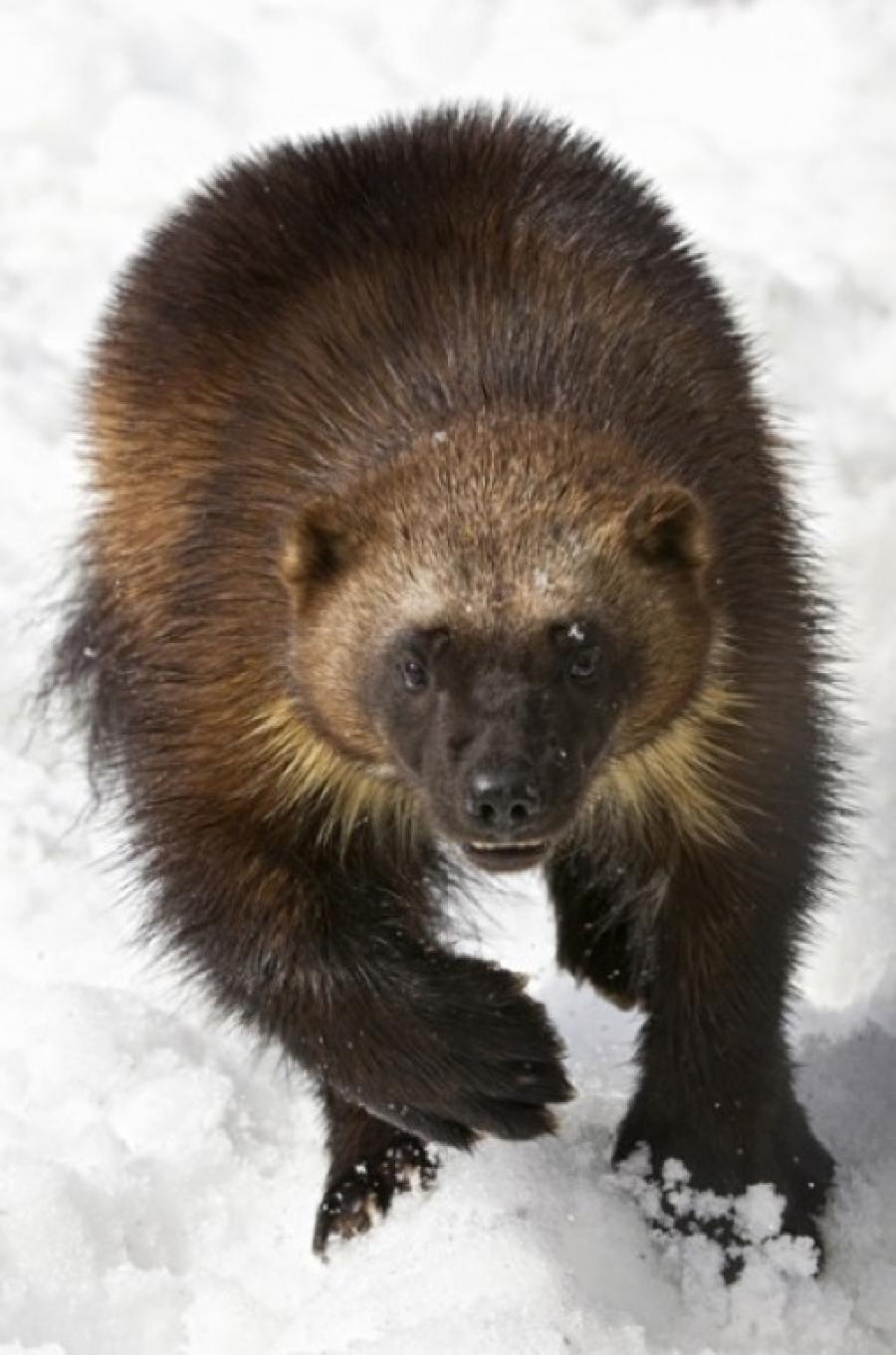 Wolverine. Photo: US Fish and Wildlife Service.