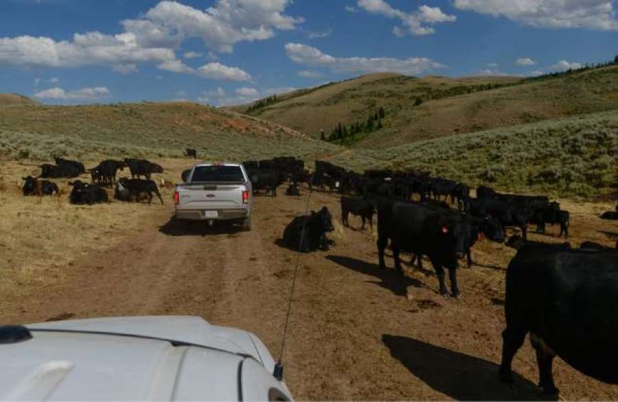 Livestock damaged stream in Rich County. Photo Credits: Salt Lake Tribune