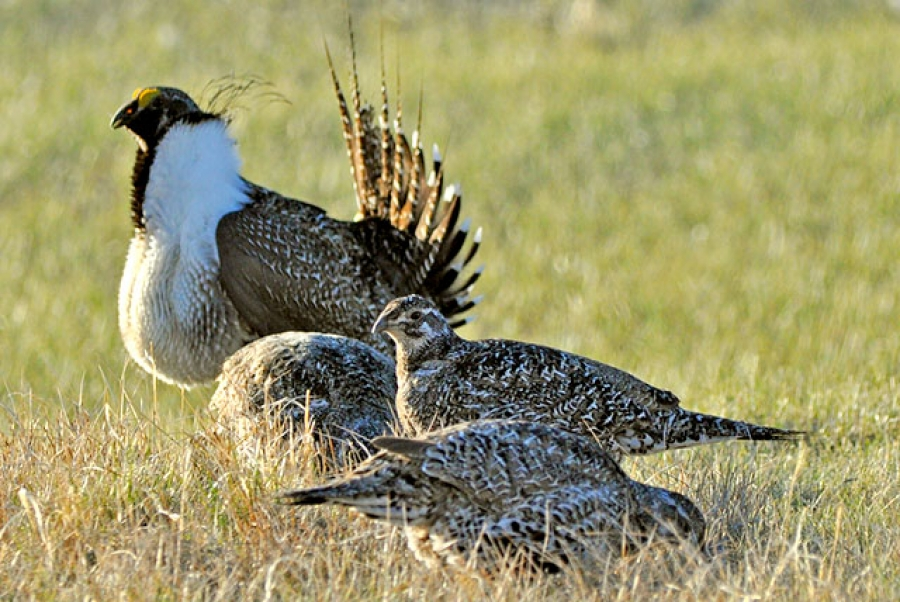 Land Management Plans for Greater Sage-Grouse Conservation