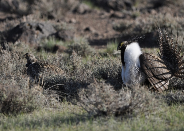 Greater sage grouse, credit USFWS|Example – Smoky Canyon haul road across ridges with deep cut Fall, 2016||||