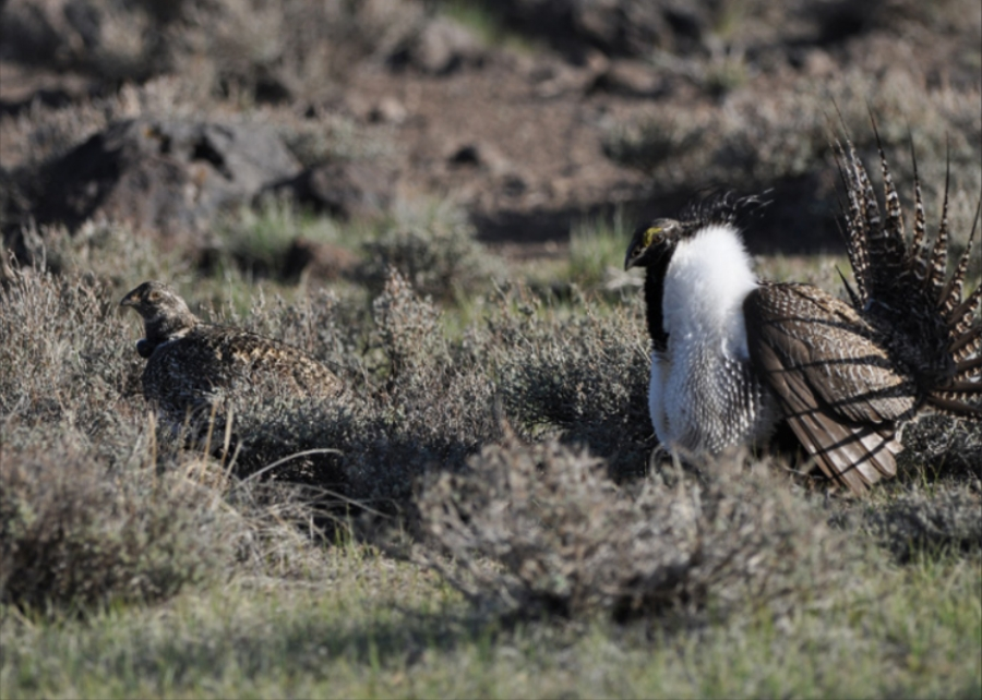 Greater sage grouse, credit USFWS
