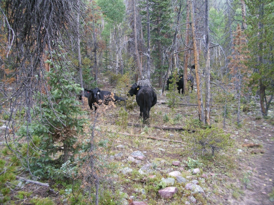 Uinta Cattle Grazing Allotment Monitoring
