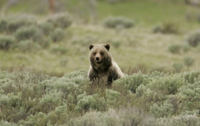 Greater Yellowstone grizzly. Photo: National Park Service.||||
