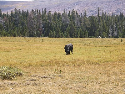 High Uinta Wilderness/Trespass Cattle